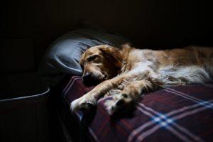 Un cane stanco e demotivato steso sul divano